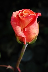 Red-orange rosebud on dark background.