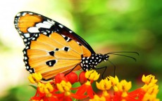 african-monarch-butterfly-on-flowers