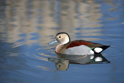 duck-ringed-teal-by-karen-arnold