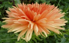 Peach-colored spikey dahlia blossom.