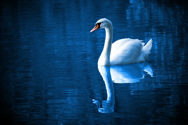White swan on blue water.