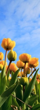 yellow tulips beneath blue sky