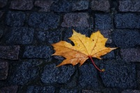 Wet maple leaf on old stone walkway